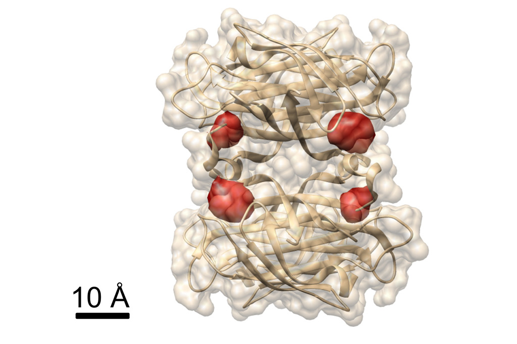 View of a protein: Max Planck researchers have used the COLD method to visualize the four binding sites of biotin (labelled by red dye molecules) in the protein streptavidin, whose structure is already known. © MPI for the Science of Light