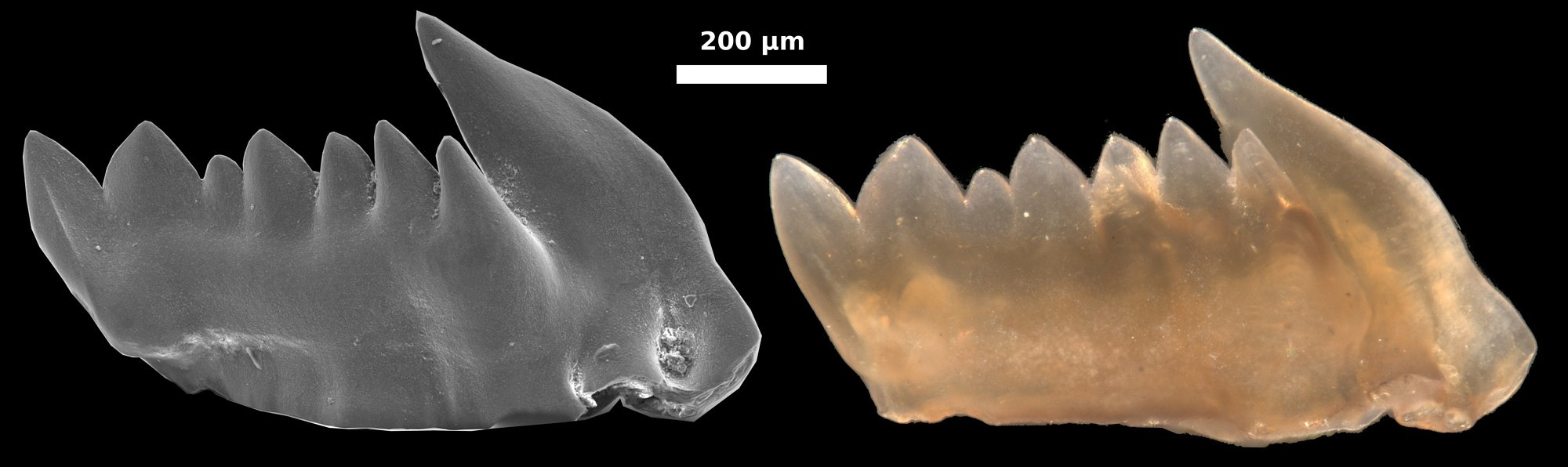 Image of a conodont's tooth (image: FAU/Bryan Shirley)