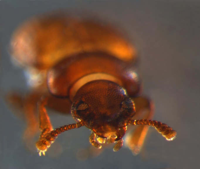 "Towards entry ""Mirror-image beetle embryos – when early development goes wrong"""