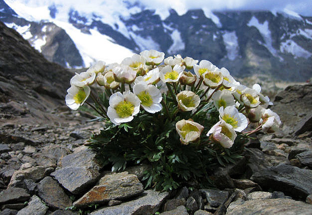 The picture shows Ranunculus glacialis – Glacier buttercup: Typical high alpine species that primarily grows on acidic rocks such as granite and gneiss. It was found on summits in most of the researched European mountain areas. In the historic data set, the plant occurred on 113 summits and was discovered again with a few exceptions on most of the summits during the study. (Image: Cajsa Nilsson, SLF)