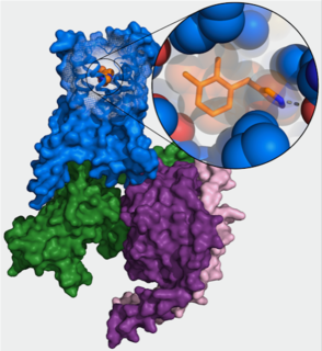New high-resolution structure of alpha2B adrenergic receptor (blue) in combination with the drug dexmedetomidine (orange) and GO protein (green, purple, pink). (Image: FAU/Jonas Kaindl)